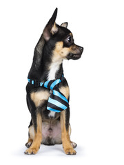 black chiwawa dog with blue black tie looking to the right isolated on white background