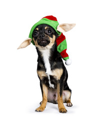 black chiwawa dog sitting with funny chirstmas / elf hat isolated on whit background