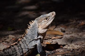 Black Iguana in Costa Rica