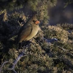 Winter Cardinal Perched on Juniper