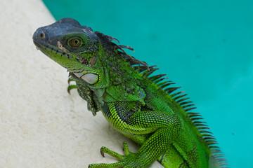 Green Iguana Lizard in Nature