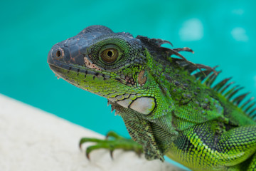 Green Iguana Lizard in Nature close up