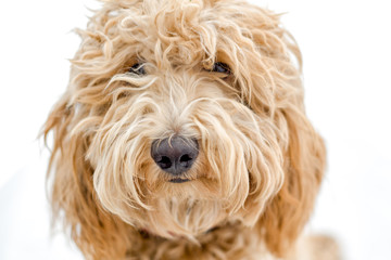 Sweet Labradoodle Puppy