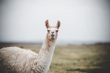 Photo sur Plexiglas Lama One single llama in the altiplano along the border between Bolivia and Chile