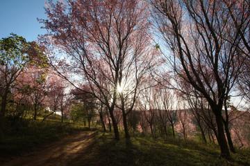 wild himalayan cherry or Thai sakura flower