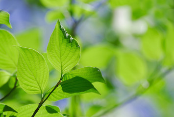 Fresh growing green tree leaves in spring