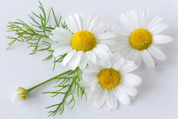 camomile (matricaria chamomilla) - health care and medical treatment - white flowers on the white background