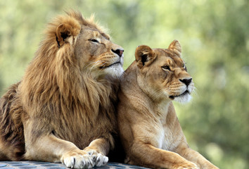 Poster Lion Pair of adult Lions in zoological garden