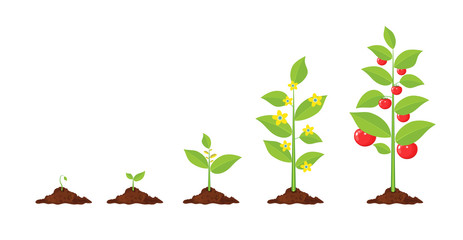 Growth of plant, from sprout to vegetable.