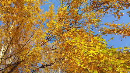 Branch of autumn birch tree with bright yellow leaves