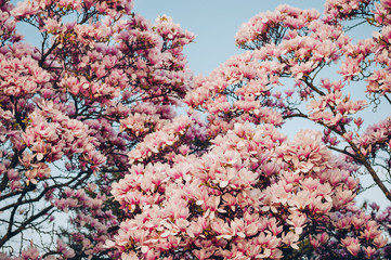 Nature background with pink magnolia flowers blossoming in spring