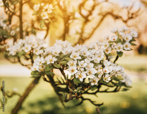 Blooming apple tree branch with large white flowersautiful blooming apple tree branch with large white flowersautiful natural seasonsl background with apple trees mightylinksfo