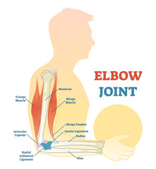 Elbow joint vector illustrated diagram, medical scheme.