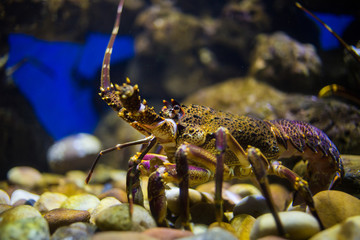 Close up image of a rock lobster in an aquarium, close to the west coast of south africa