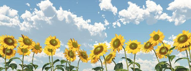 Sonnenblumen vor blauem Himmel mit Schönwetterwolken