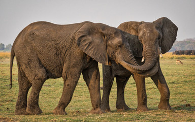 Two elephants with their trunks intertwined, Botswana