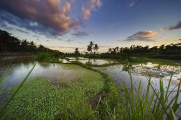 Paddy fields, Gianyar, Bali, Indonesia