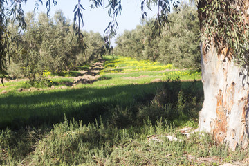 Early morning sunbeams in olive plantation in algeria