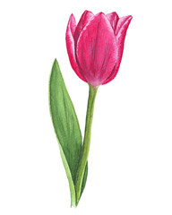 Single watercolor tulip on white background