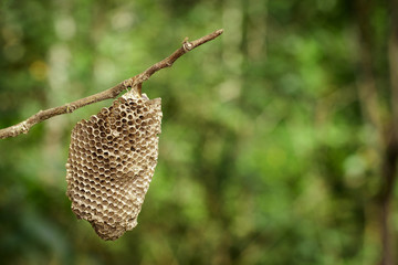 Image of honeycomb empty on dry branches.