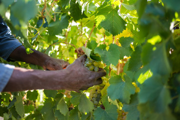 Bunches of ripe grapes ready to be picked on a wine farm in South Africa