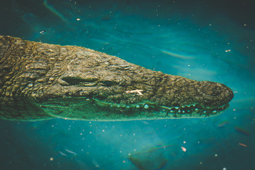 Close up view of an african nile crocodile swimming in chrystal clear water
