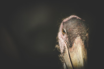 Close up view of a marabou stork in a zoo