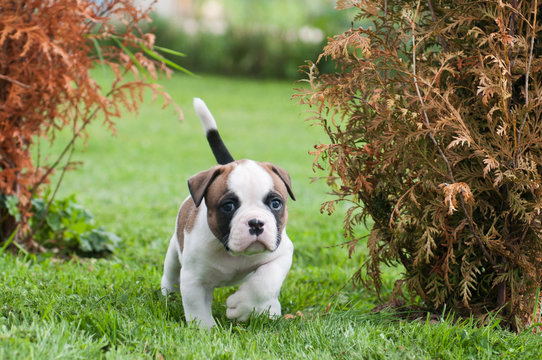 Funny nice red American Bulldog puppy is walking on the grass