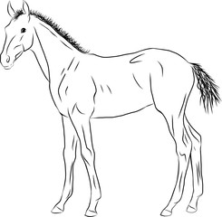 A sketch of a foal, standing calmly and looking into the distance.