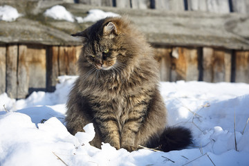 looking down  full face siberian cat portrait on snow
