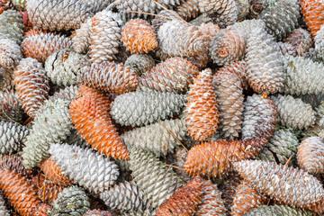 Piñas de pino marítimo, resinero. Pinus pinaster.
