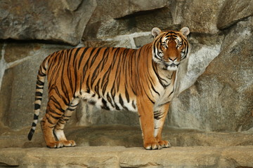 Siberian tigers, Panthera tigris altaica, resting and playing in the rocky mountain area. Dangereous predator in action. Tigers in nature habitat. Beautiful wild animals in captivity.