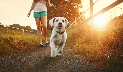 woman goes for walk with young cute labrador retriever dog puppy running and smiling during golden sunset