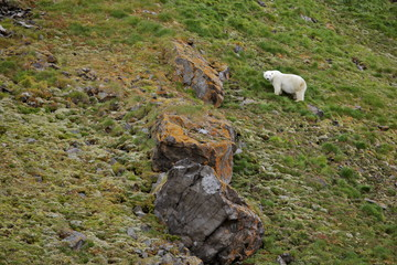 Polar bear in summer Arctic - climate change - Franz Josef Land