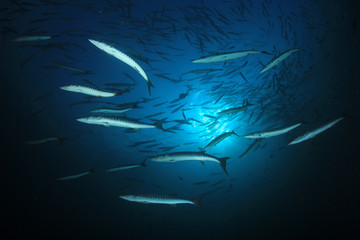 Fish in ocean. Chevron Barracuda shoal
