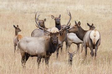 Elk of The Colorado Rocky Mountains