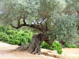Olivos milenarios en Ulldecona, Tarragona ( Cataluña,España)