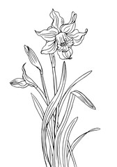 Narcissus with buds and leaves, a contour black and white vector illustration.