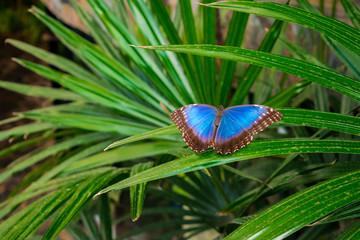 Morpho peleides butterfly , the Peleides blue morpho, common morpho or the emperor