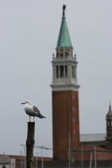 seagull in Venice (winter season)