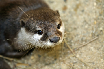The Asian small-clawed otter also known as the oriental small-clawed otter or simply small-clawed otter, is a semiaquatic mammal native toTropical Forest  at South and Southeast Asia. Thailand