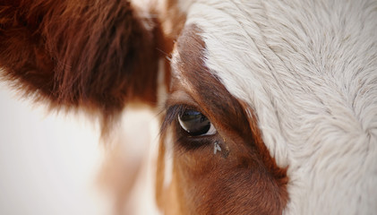 Foto op Aluminium Koe Eyes red cow and the fly.