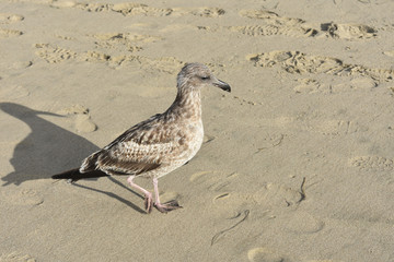 Cute brown and white seagull looking at the sand