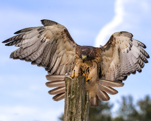 Wall Mural - Red Tailed Hawk