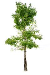 Tree isolated on white background,clipping paths.