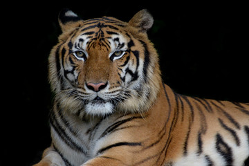 Close-up bengal tiger and black background.