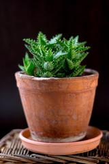Beautiful aloe juvenna in a clay flower pot.