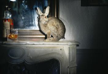 trophée lièvre animal sauvage empaillé