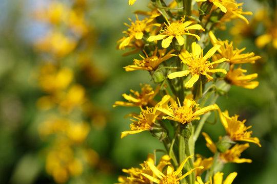 Ligularia flowers in the garden.