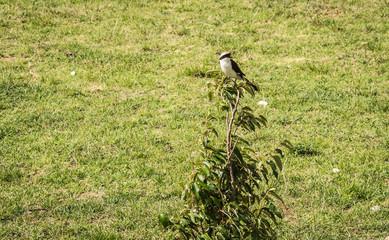 Black and white bird on  branch in Masai Mara, Kenya